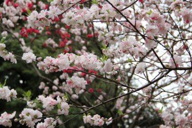 新宿御苑の桜の見頃と営業時間や入場料とアクセス|見どころは?
