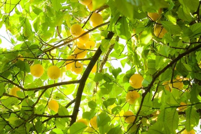 米津玄師Lemon